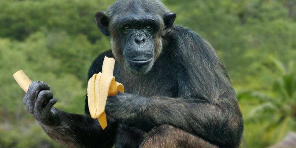 Sitting Chimpanzee in Kibaale eating a banana