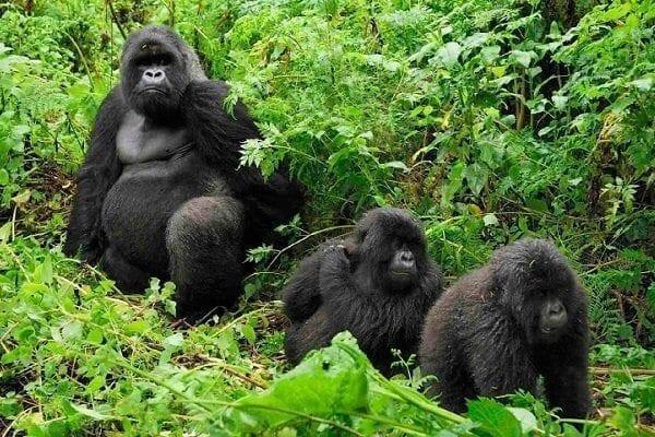 Bwindi gorillas