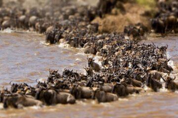 The great Wildebeest migration Serengeti national park-Tanzania crossing Kenya- Maasai Mara national park