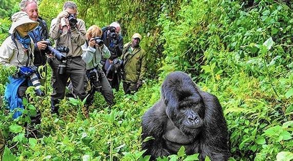 tourist photograph a gorilla at Bwindi wildlife safari for gorilla trekking in Africa Uganda