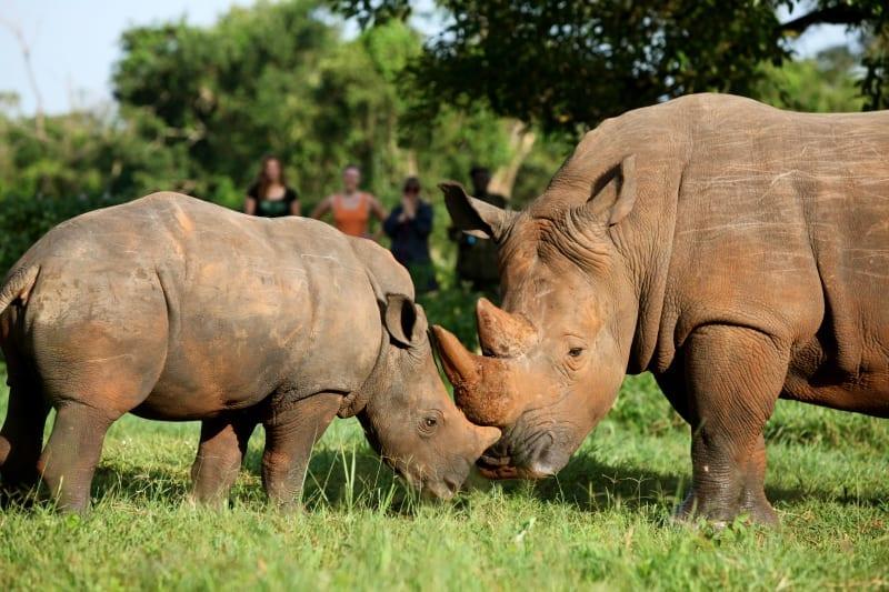 Ziwa rhino sanctuary. things to do in Murchison falls national park Uganda
