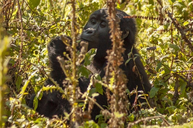cheap Gorilla tracking in Uganda and Rwanda