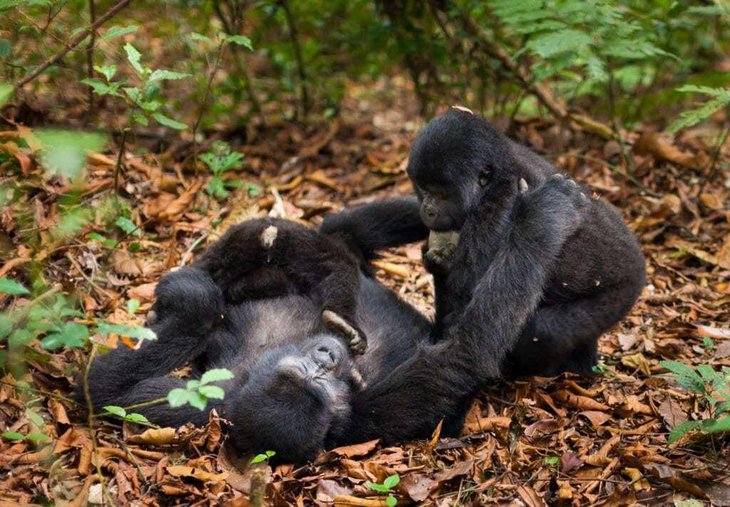 A mountain gorilla family. Three animals in the wild in Rwanda. Gorilla beringei beringei,