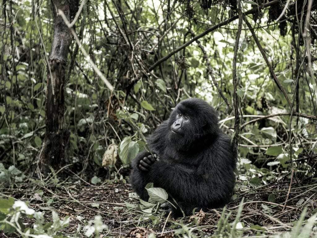 Mountain gorilla, Virunga National Park, DRC, Africa