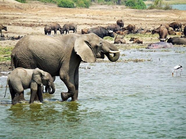 Elephants having a swim